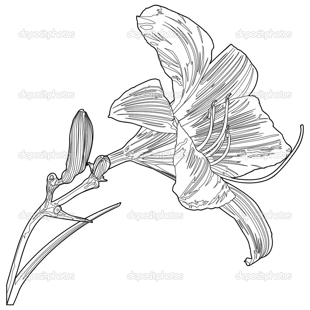 Line Drawing Of Lily Flower : Yellow lily line vector — stock jrmurray