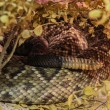 Foto Stock: Tail of rattlesnake hiding over tree