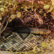 Stockfoto: Tail of rattlesnake hiding over tree