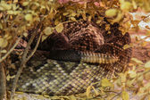 Tail of rattlesnake hiding over tree — Stock Photo
