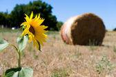 Girasol en las tierras de labrantío — Foto de Stock