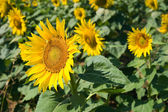 Sunflowers on a sunflowerfield in Tuscany in Italy. — Stock Photo