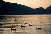 Swimming ducks — Stock Photo