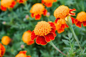 Marigold red. — Stock Photo
