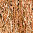 Close up of rice seed on rice plant — Stock Photo