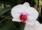 Orchid in the garden at thailand — Stock Photo