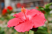 Hibiscus flowers. — Stock Photo