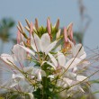 Stock Photo: Summer spider flowers