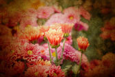 Pink chrysanthemum flowers — Stock Photo
