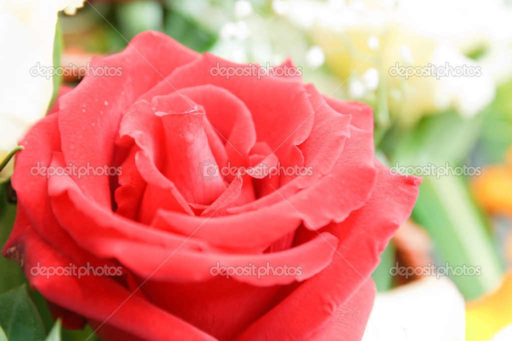 Red rose — Stock Photo #10441910