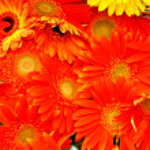 Marigolds — Stock Photo