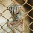 Handed Gibbon in the cage. - Stock Photo