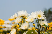 White chrysanthemums flowers — Stock Photo