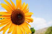 Beautiful yellow Sunflower — Photo