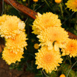 Beautiful yellow chrysanthemum flowers - Stock Photo
