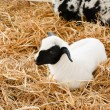Stock Photo: Young lamb in farm