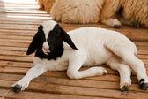 Junge lamm in hof — Stockfoto