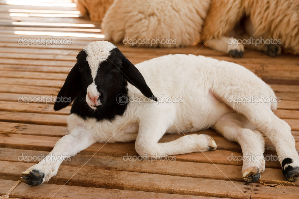 Young lamb in farm — Stock Photo #9328029