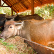 Stock Photo: Thai buffaloes.