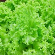 Field of fresh and tasty salad/lettuce plantation — Stock Photo #9390382