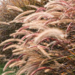 Stock Photo: Grass Plumes