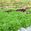 Field of fresh and tasty salad/lettuce plantation — Stock Photo