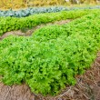 Stock Photo: Field of fresh and tasty salad/lettuce plantation