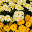 Chrysanthemum in the garden. - Stock Photo