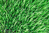 Green seedlings of cereal crops in the field — Stock Photo