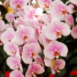 Orchid in the garden at thailand - Foto Stock