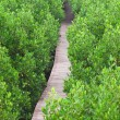Mangrove Way — Stock Photo #10019134