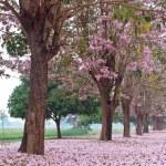 Pink trumpet tree — Stock Photo #10028065