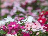 Periwinkle flower — Stock Photo