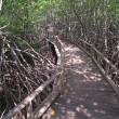 Mangrove Way — Stock Photo #10068934
