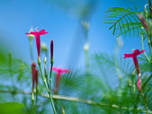 Cypress vine — Stock Photo