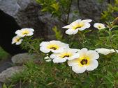 Turnera subulata flower — Stock Photo