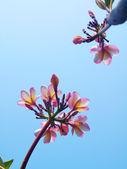 Frangipani flowes — Stock Photo