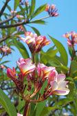 Beautiful frangipani flowes — Stock Photo