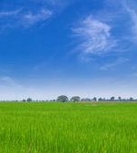 Young paddy field — Stock Photo