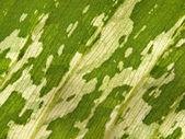 Dumb cane leaf — Stock Photo