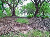 Rötter gren — Stockfoto