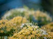 Buah Karang Hutan Blüte — Stockfoto