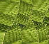 Banana foliage — Stock Photo