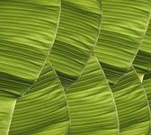 Banana foliage — Stock Photo