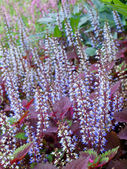Colorful field of coleus flowers — Stock Photo
