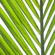Stock Photo: Nipa palm foliage