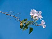 Morning Glory Tree — Stock Photo