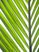 Nipa palm foliage — Stock Photo