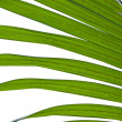 Nipa palm foliage — Stock Photo #10497742