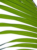 Nipa palm foliage — Foto Stock